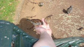 800px-Two_House_Sparrows_(Passer_domesticus)_feeding_from_hand